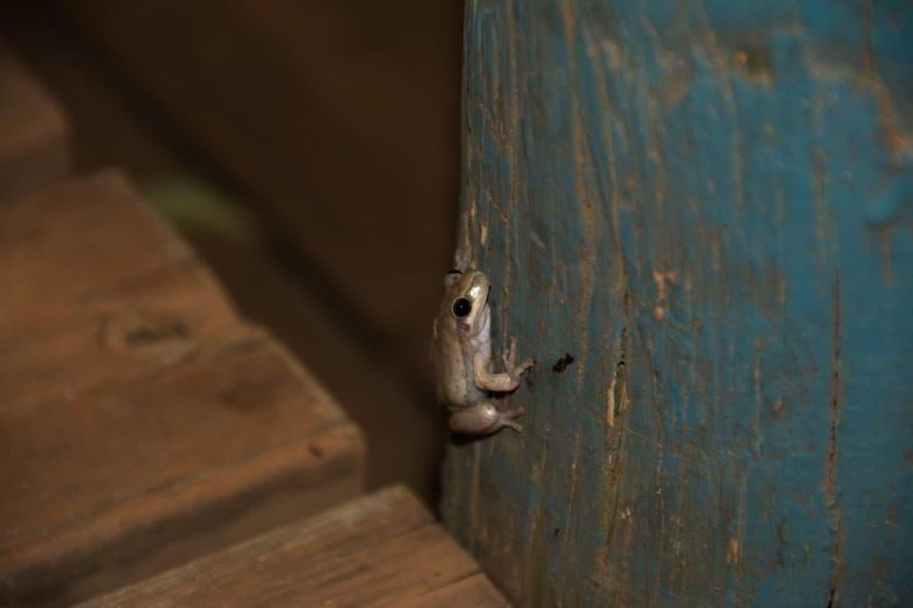 Frogs at Kooljaman