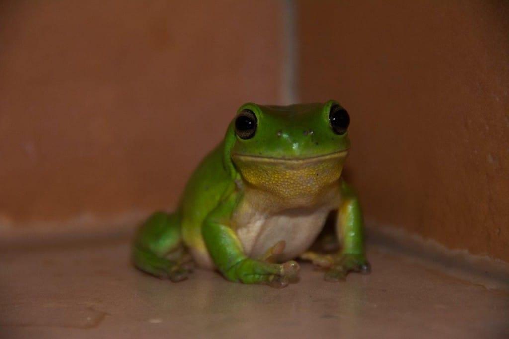 Green Tree frog at Kooljaman