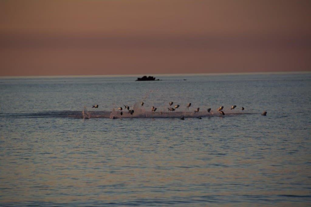 Jumping fish at Middle Lagoon