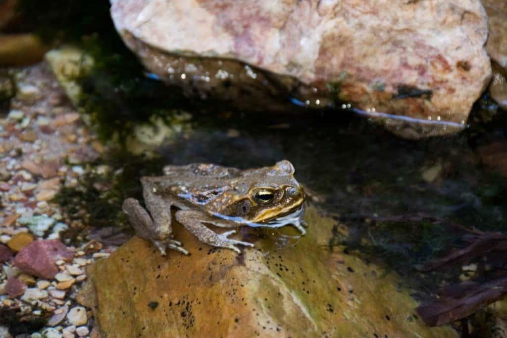 Kimberley Cane Toads