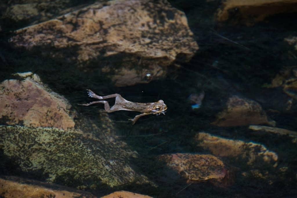 Kimberley cane toad