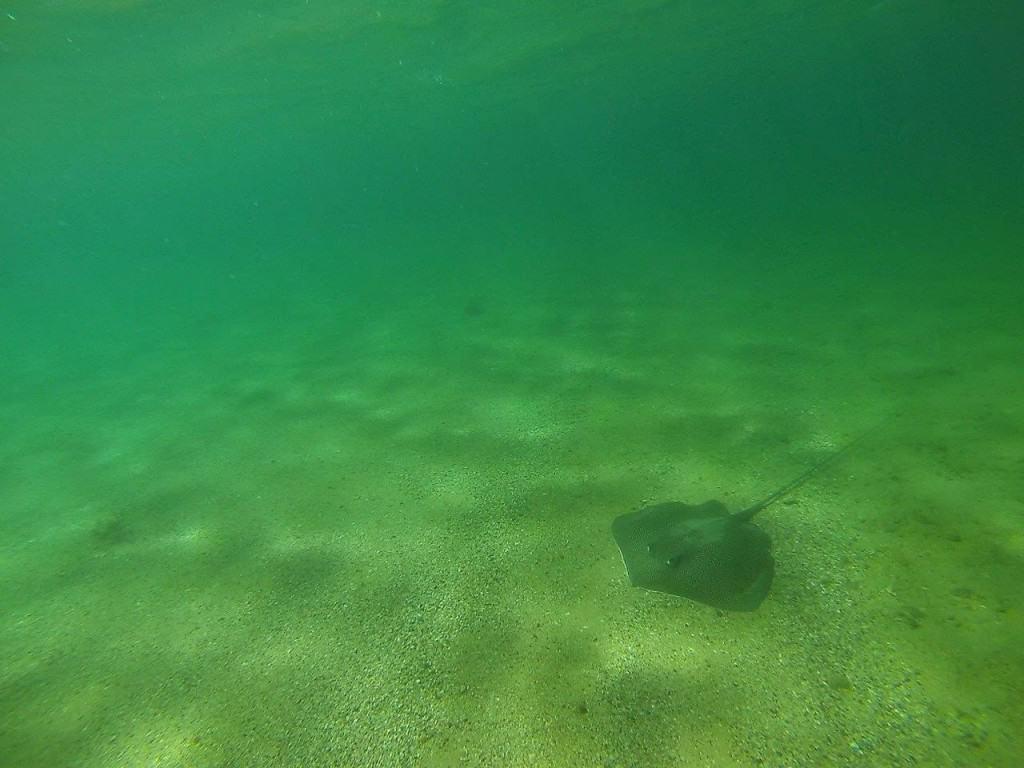 Middle Lagoon Stingray