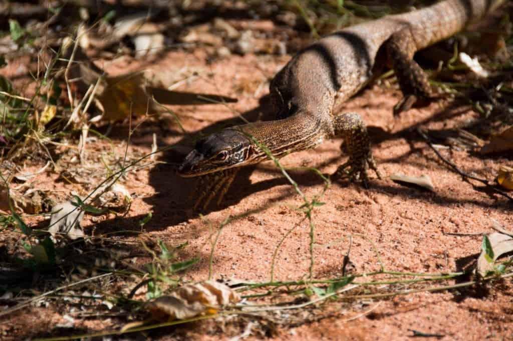 Middle Lagoon lizard