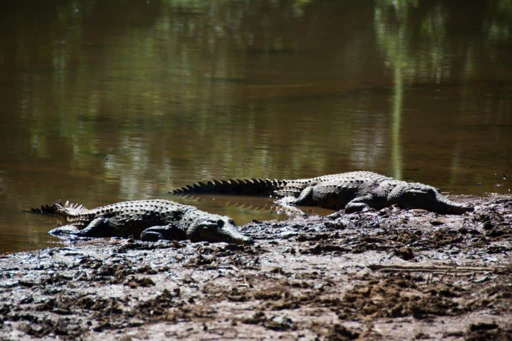 Two freshwater crocs at Windjana