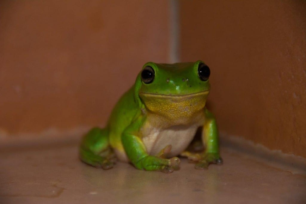 Green tree frog Broome