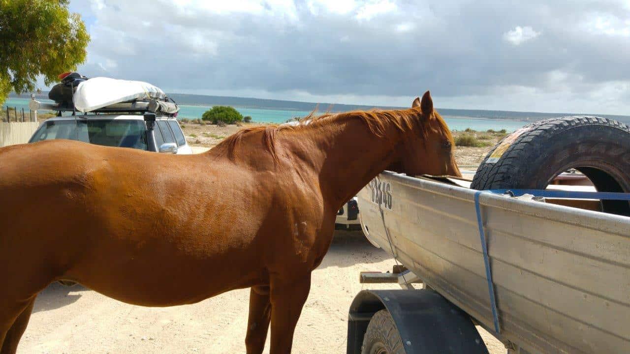 Carrarang station horse