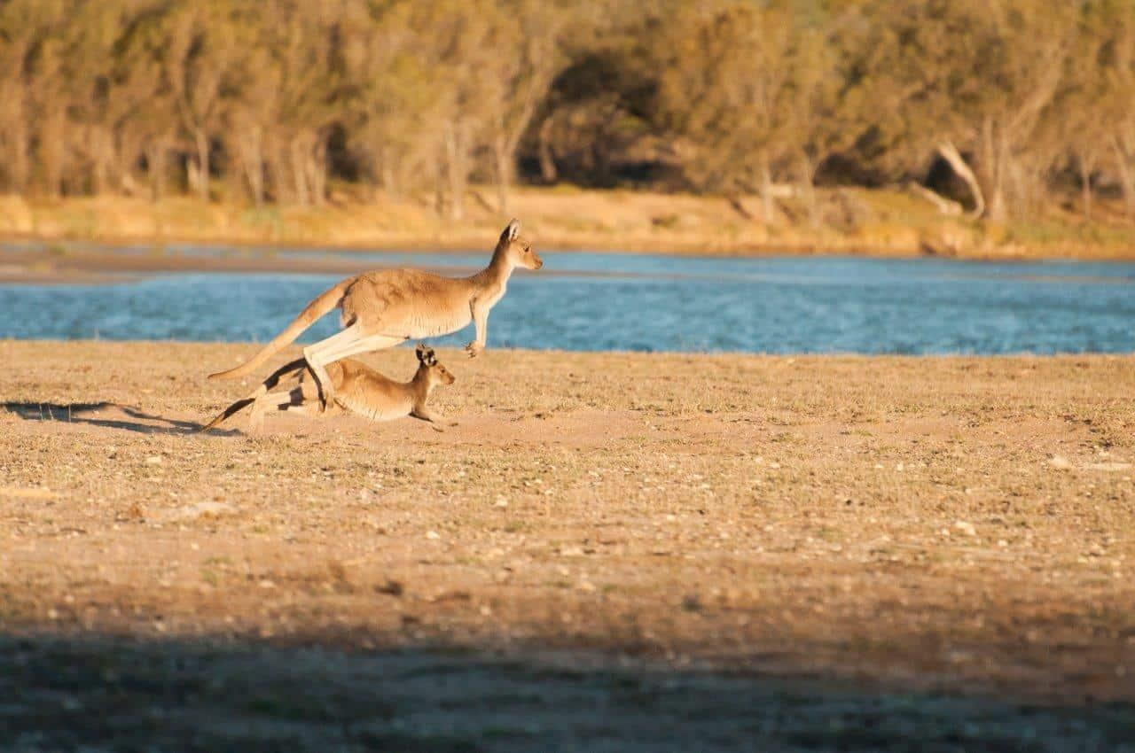 Kangaroos at House Station