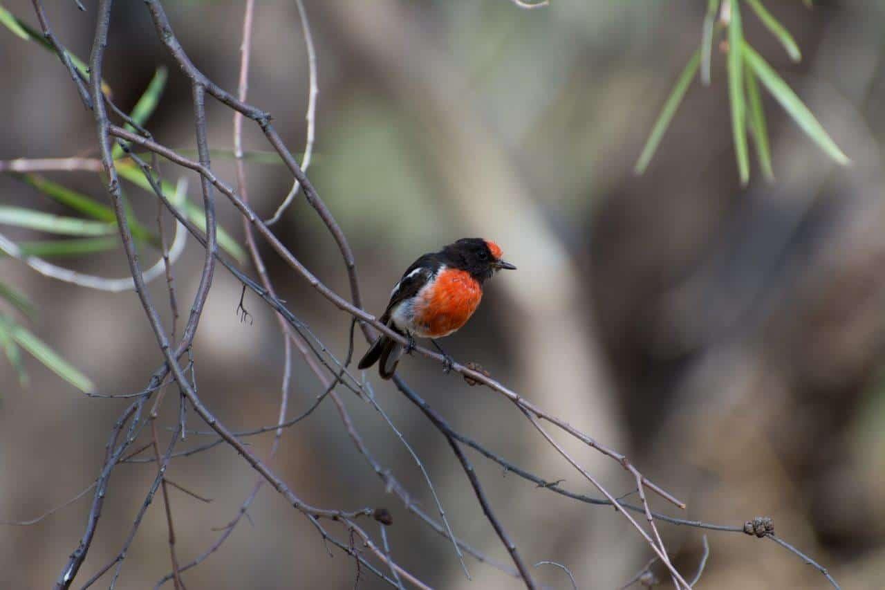 Red Capped Robin WA