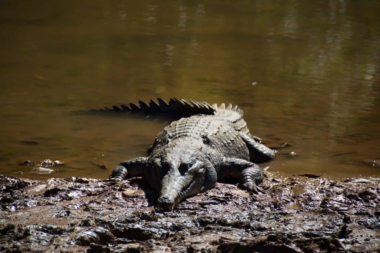 Fresh Water Crocodiles
