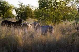Cattle along the Gibb River Road