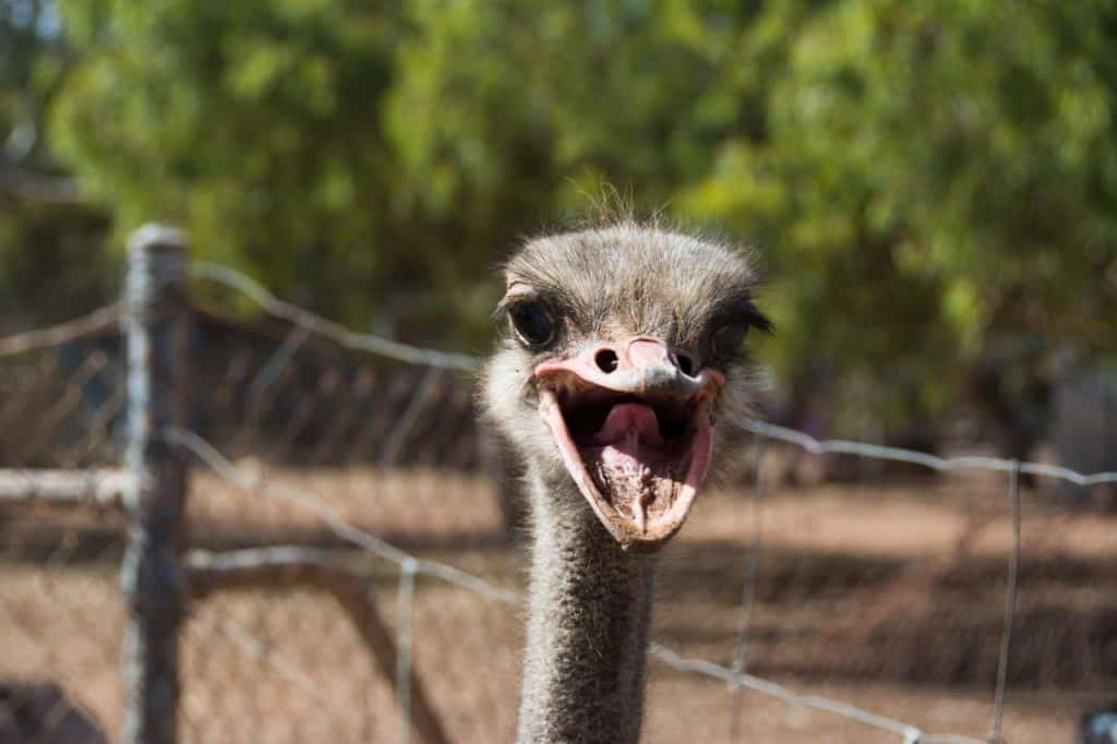 Ostrich at Greenough