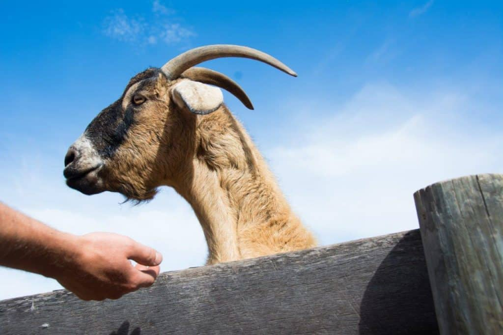 Goats at the wildlife park