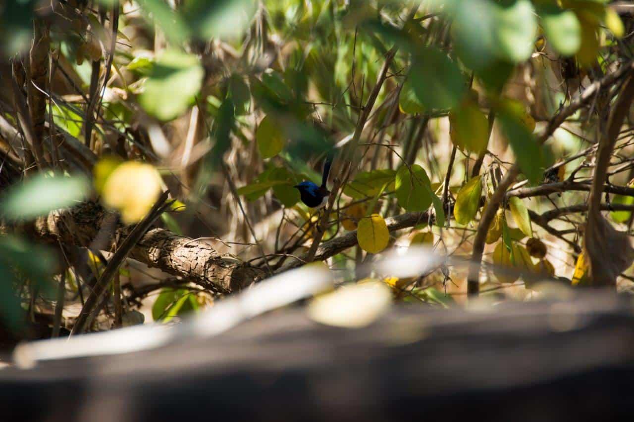 Mitchell Plateau birds