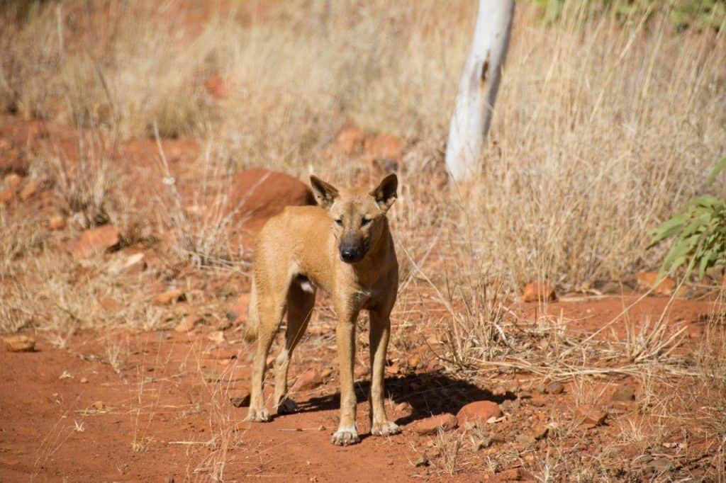 Dingo's in the Kimberley