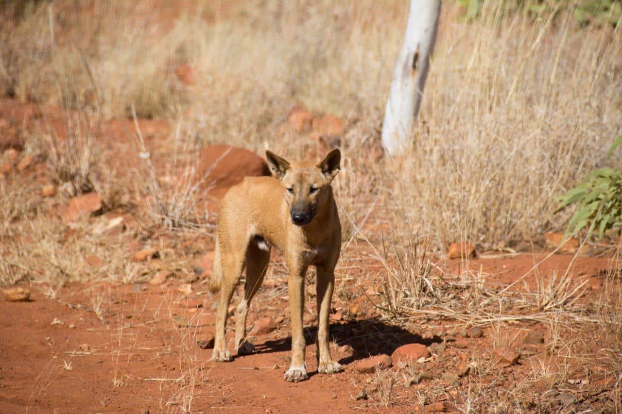 Dingo's in the Kimberley