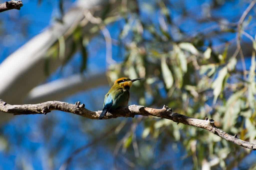 Rainbow Bee Eater in the Kimberley
