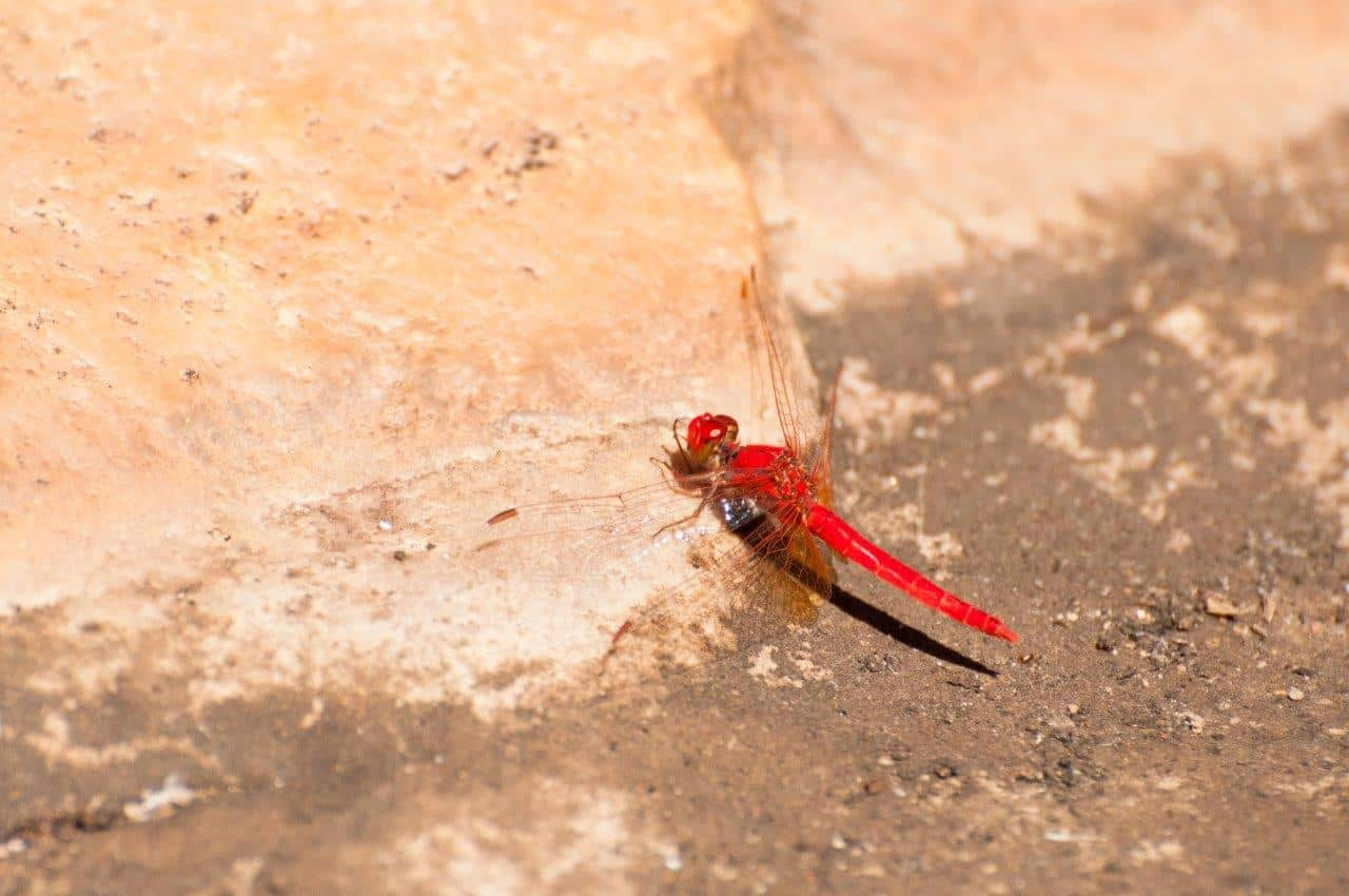 Dragonfly at Bell Gorge