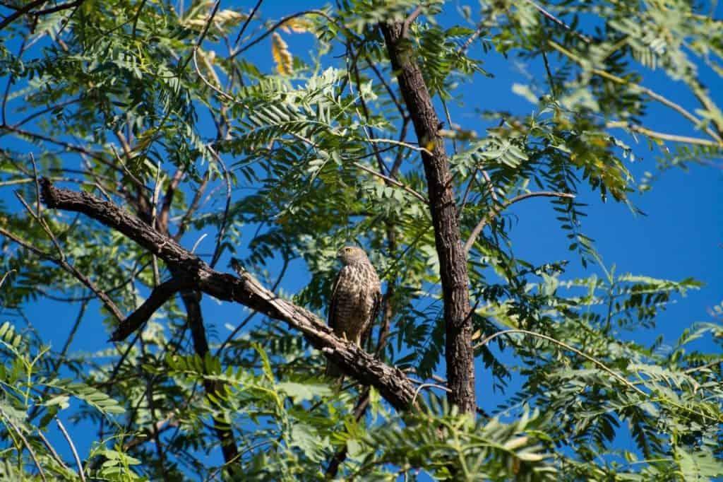 Owls at Mornington