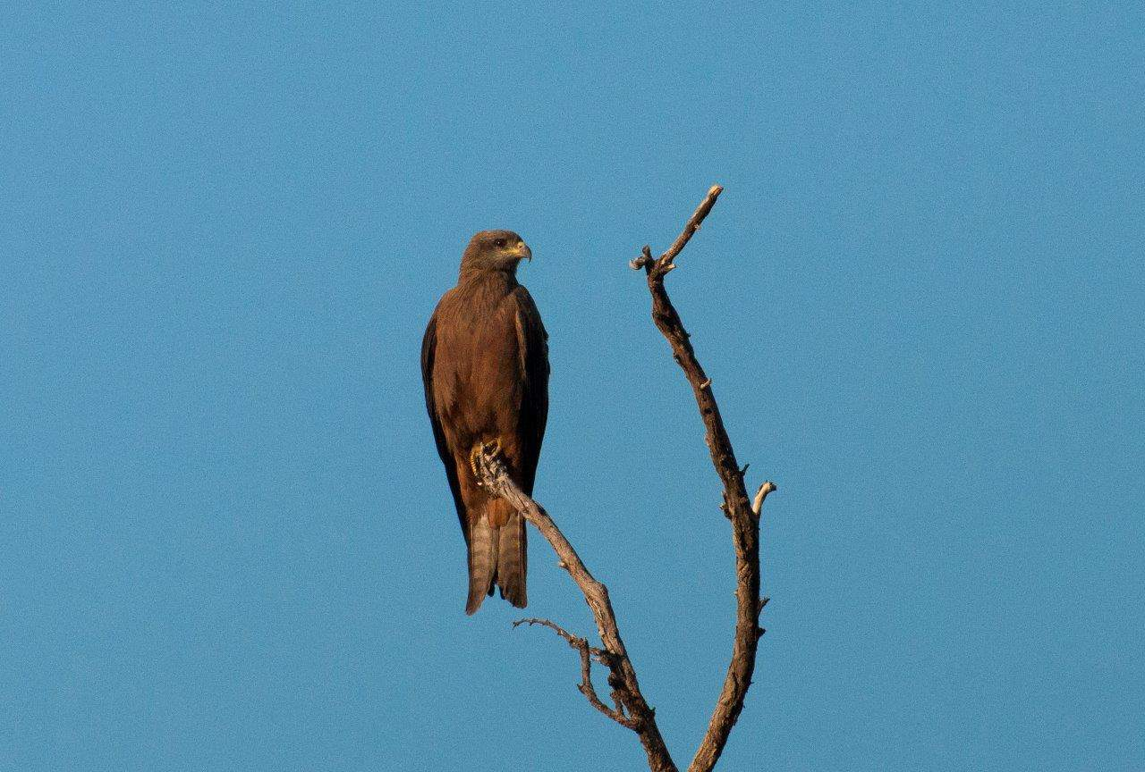 Bird of Prey in the Kimberley