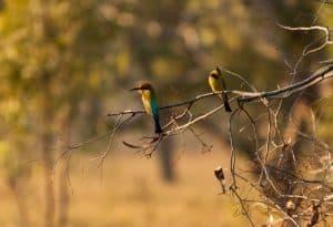 Rainbow Bee Eaters in the Kimberley