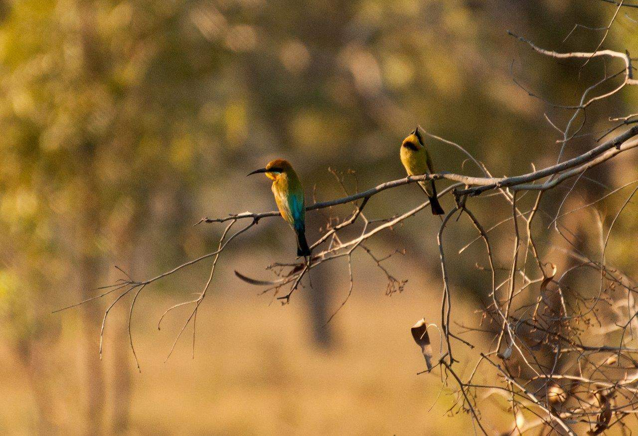 Rainbow Bee Eaters in the Kimberley
