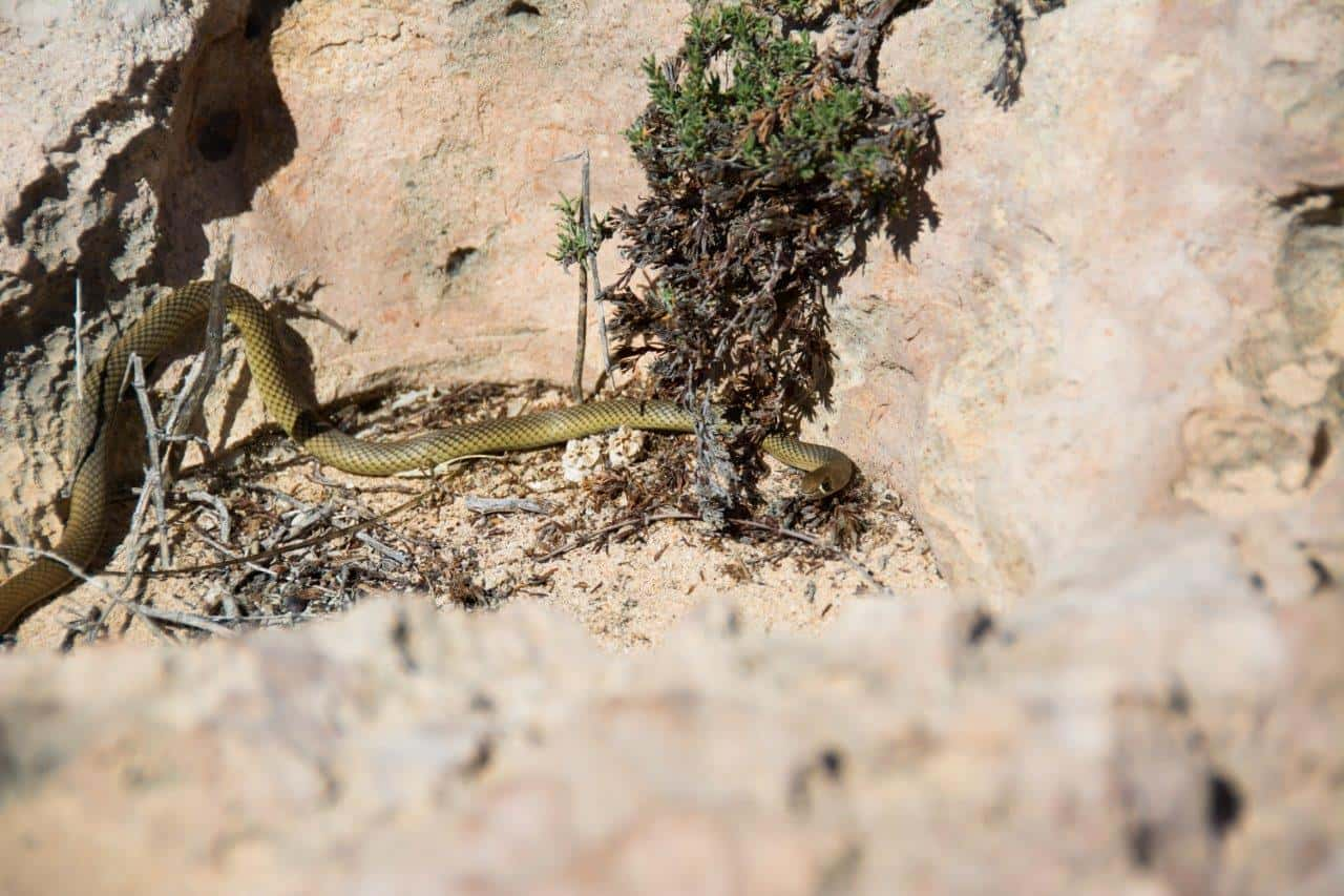 Snakes at Steep Point