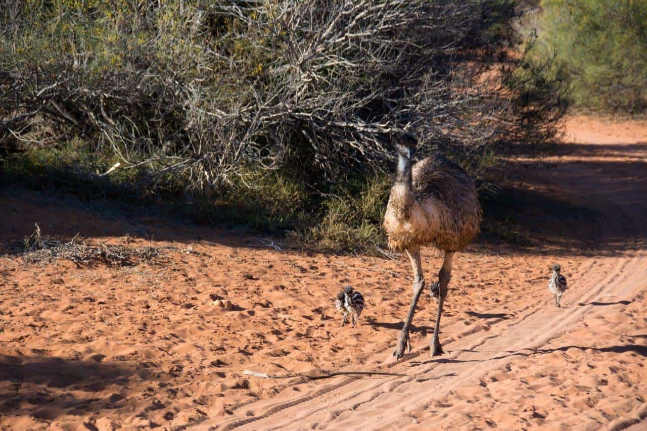 Emu and chicks at Denham