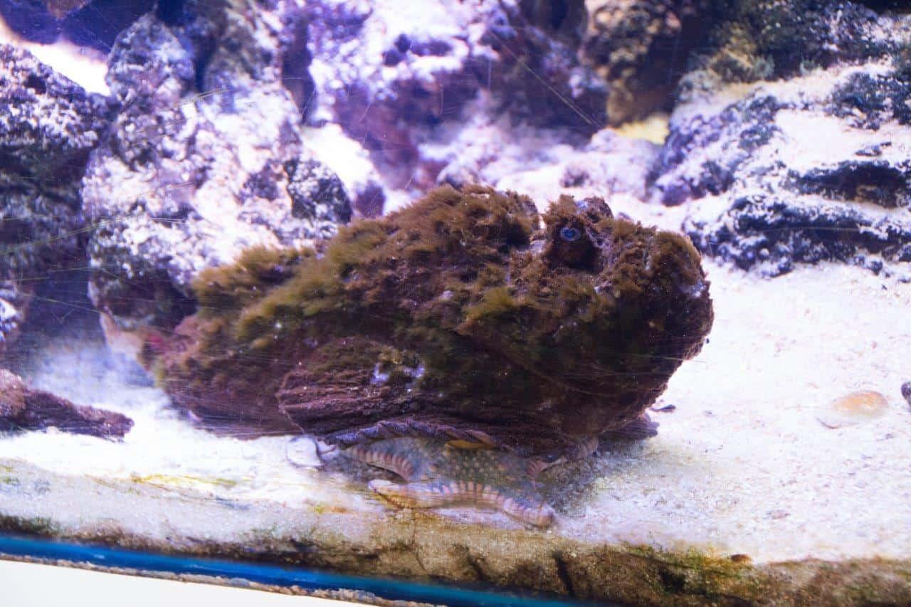 Stonefish at the Shark Bay Aquarium