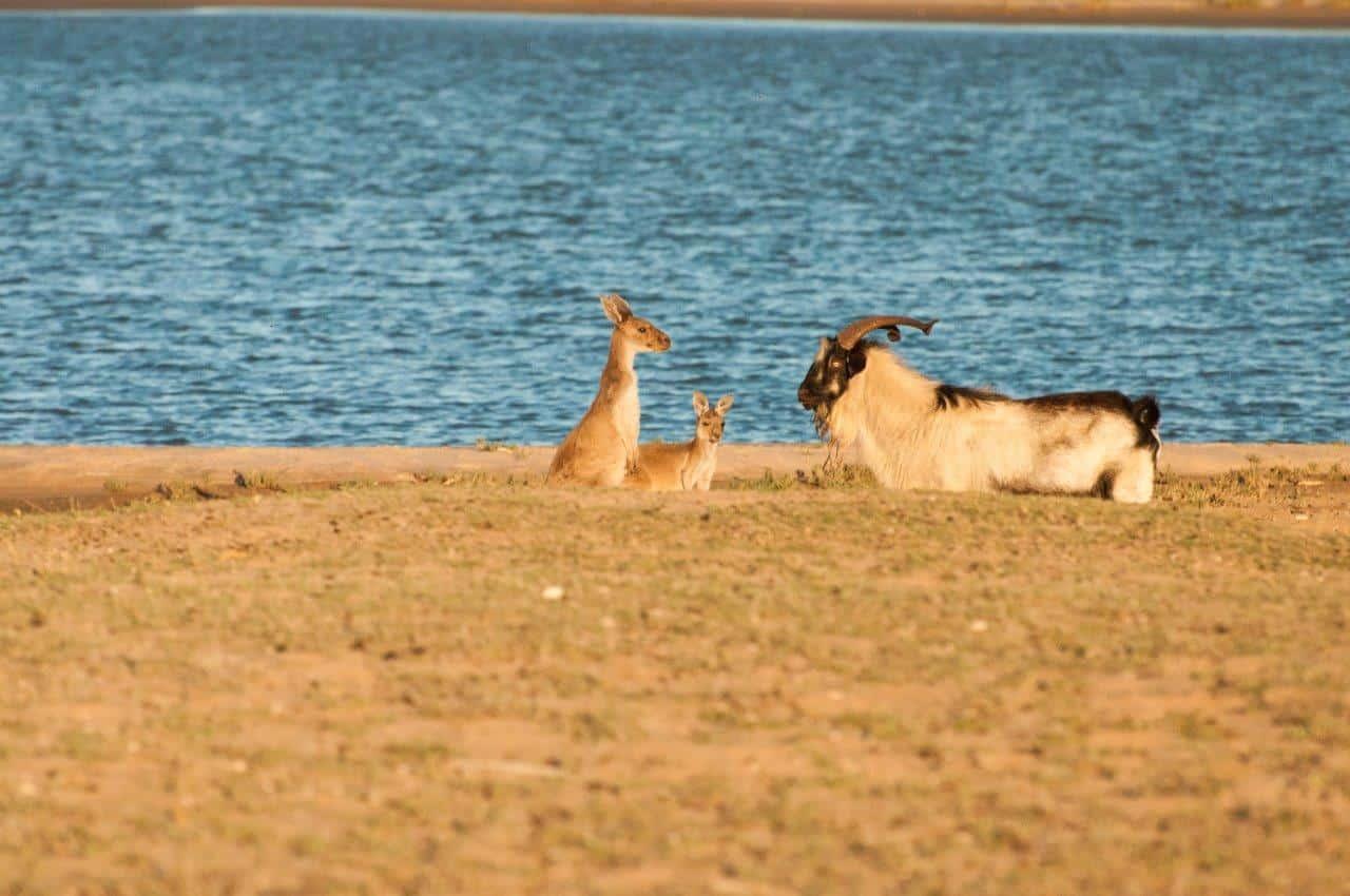 Kangaroos and Goat