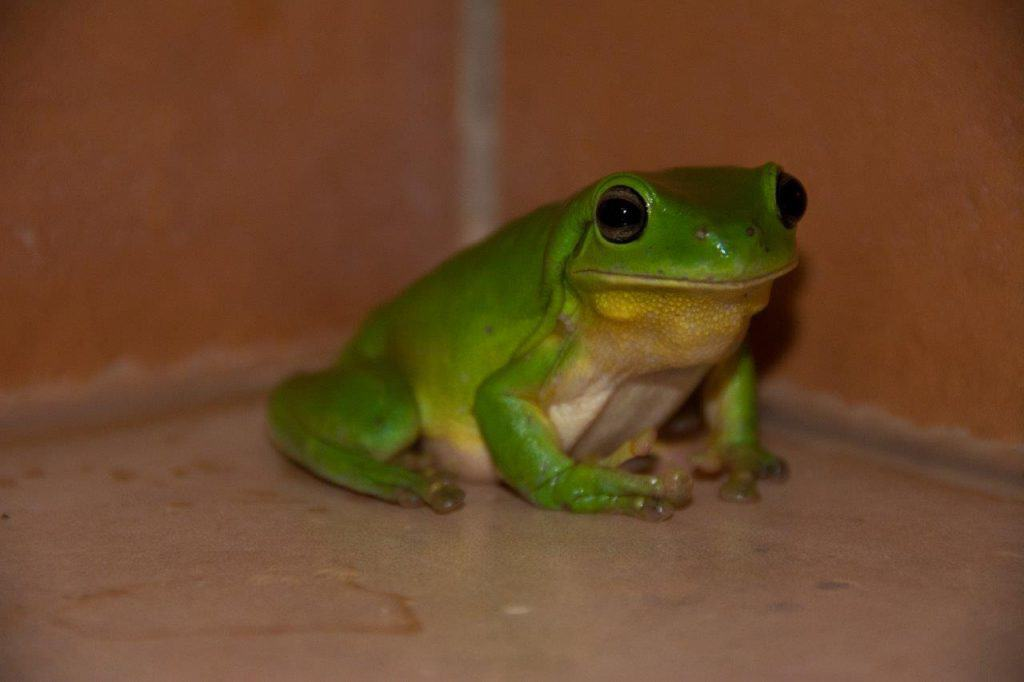 Kimberley green tree frog