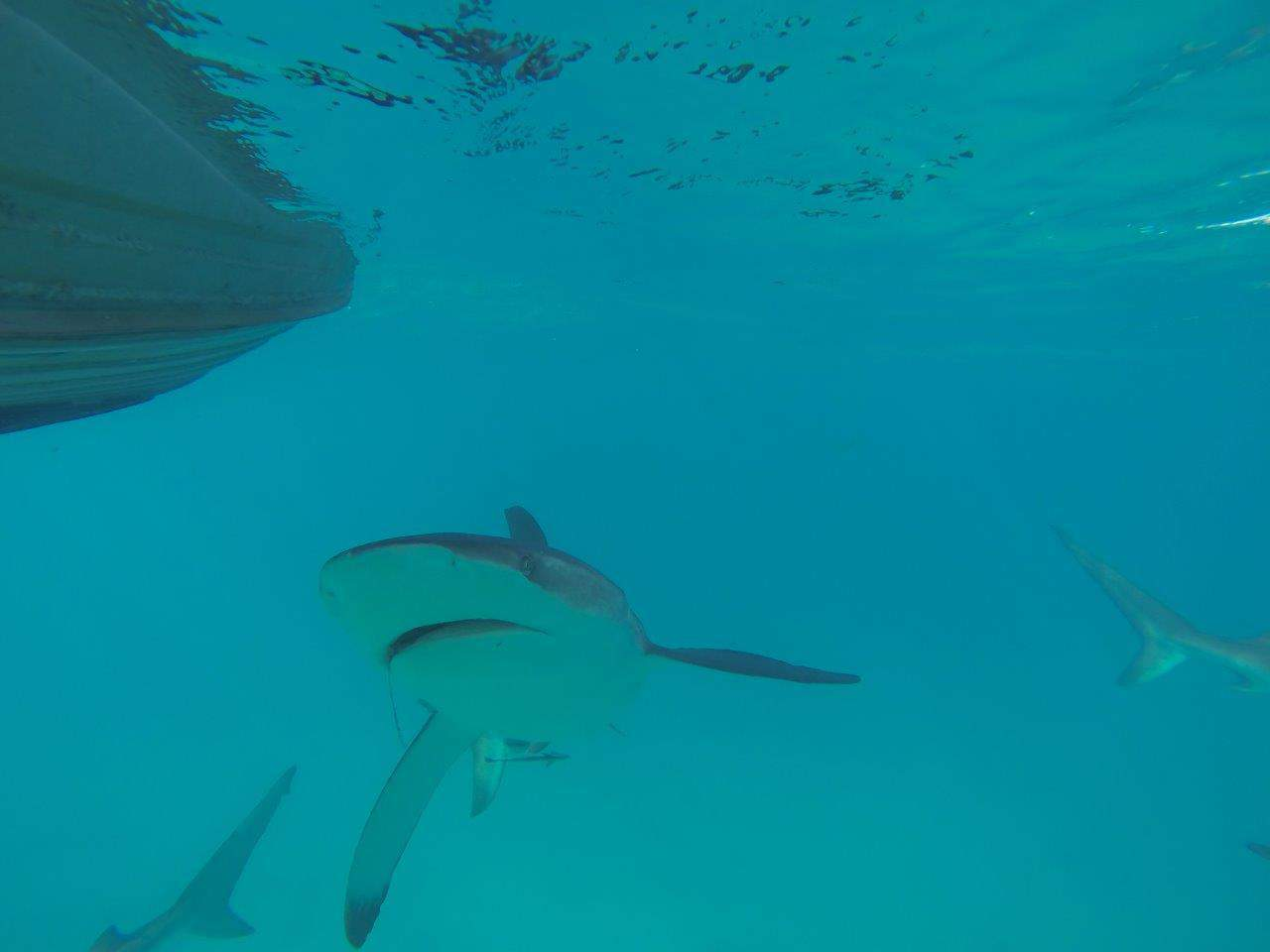 Sharks looking for food