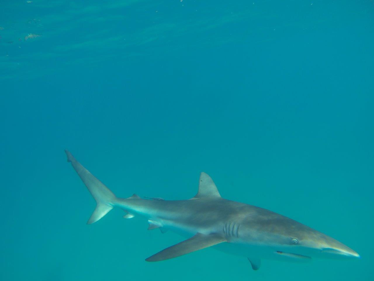 Steep Point Sharks
