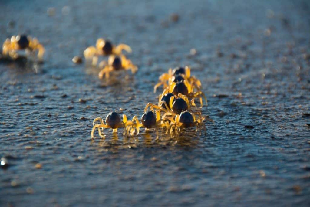 Soldier Crabs Kimberley