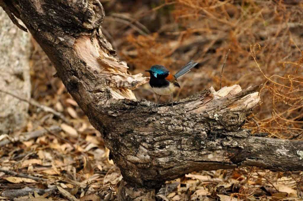 Waychinicup Bird Life