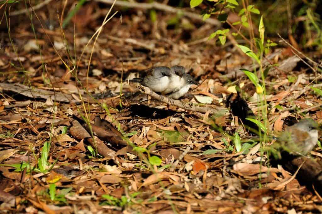 Amazing wrens and birds in Pemberton