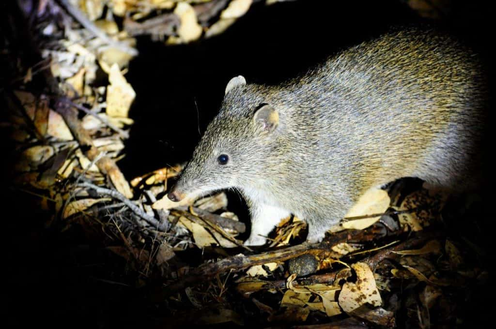 Quenda Bandicoot at Albany