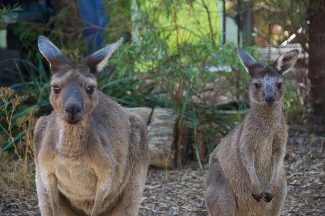 Coalmine Beach Caravan Park Kangaroos