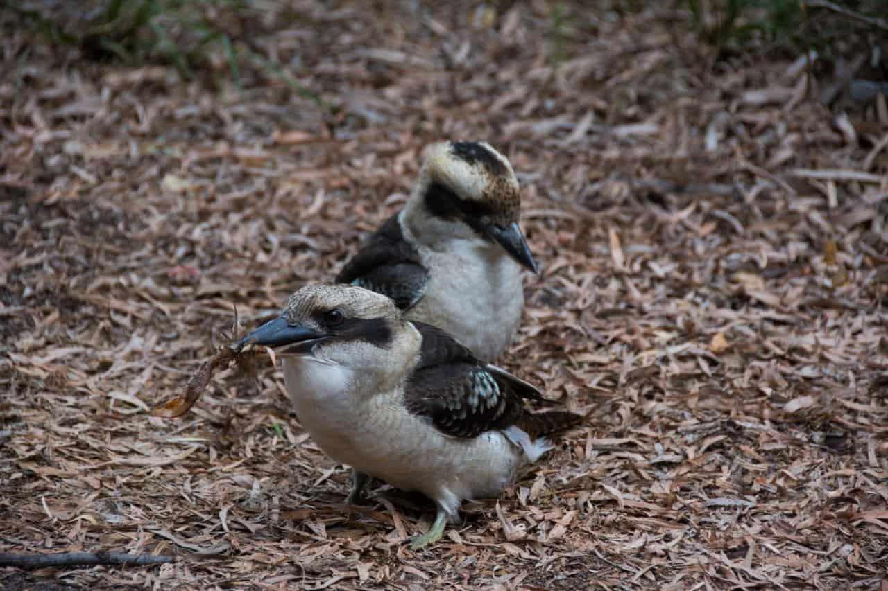 Coalmine beach Caravan park kookaburras