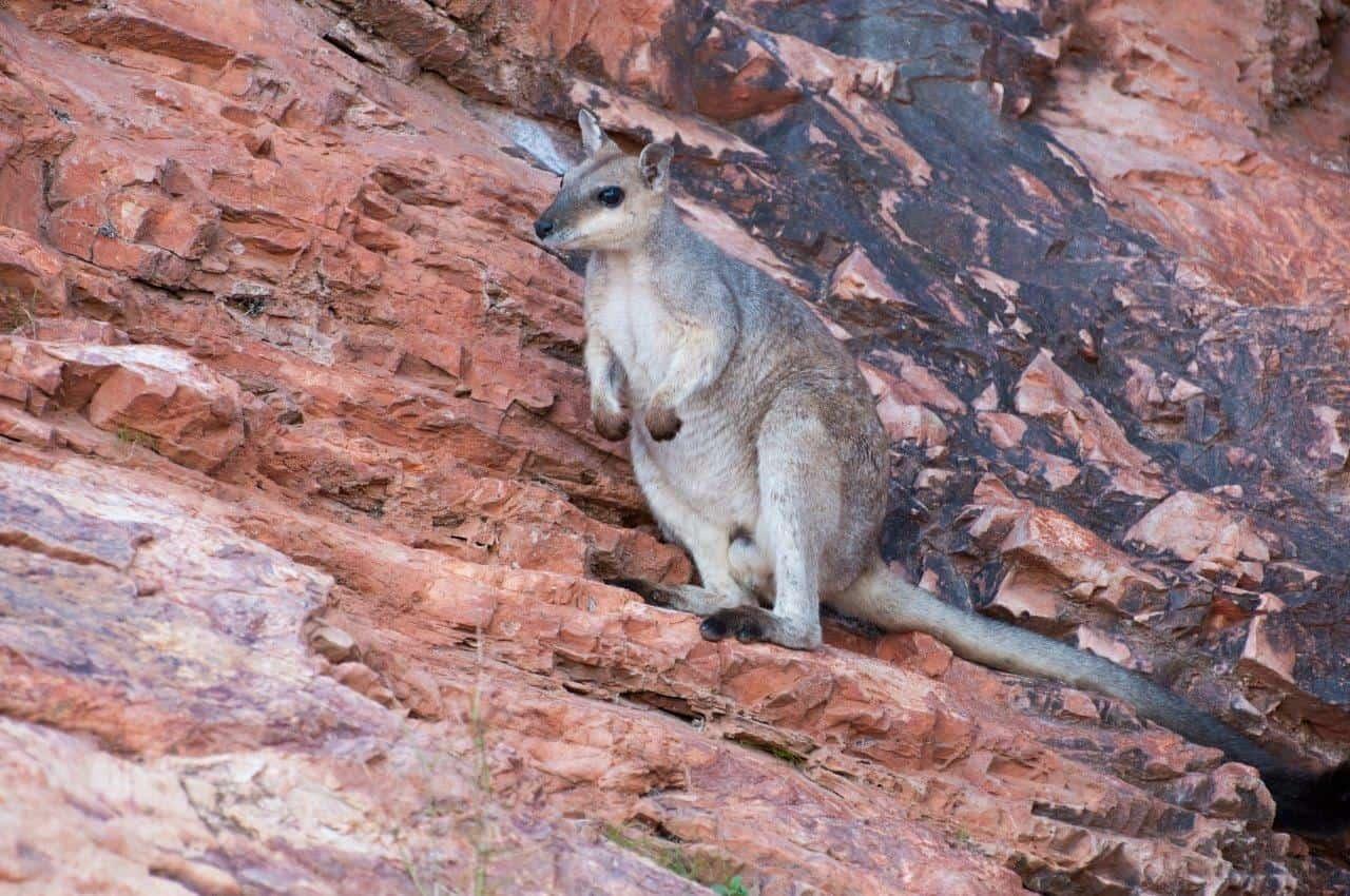 Rock wallaby at Lake Argyle