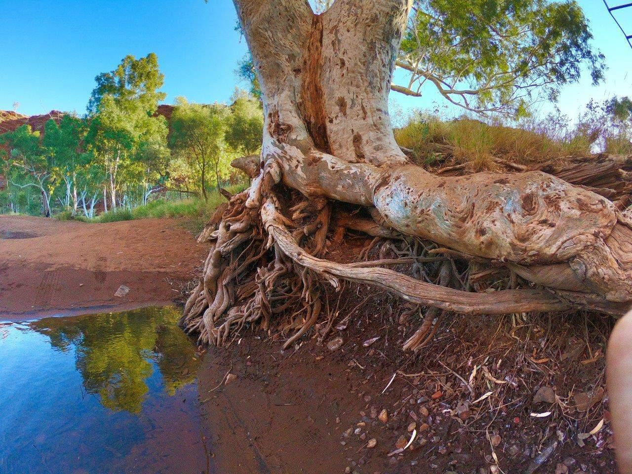 Kalgans Pool tree