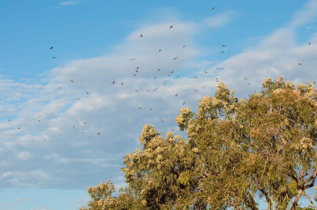 Larrawa Station Birds