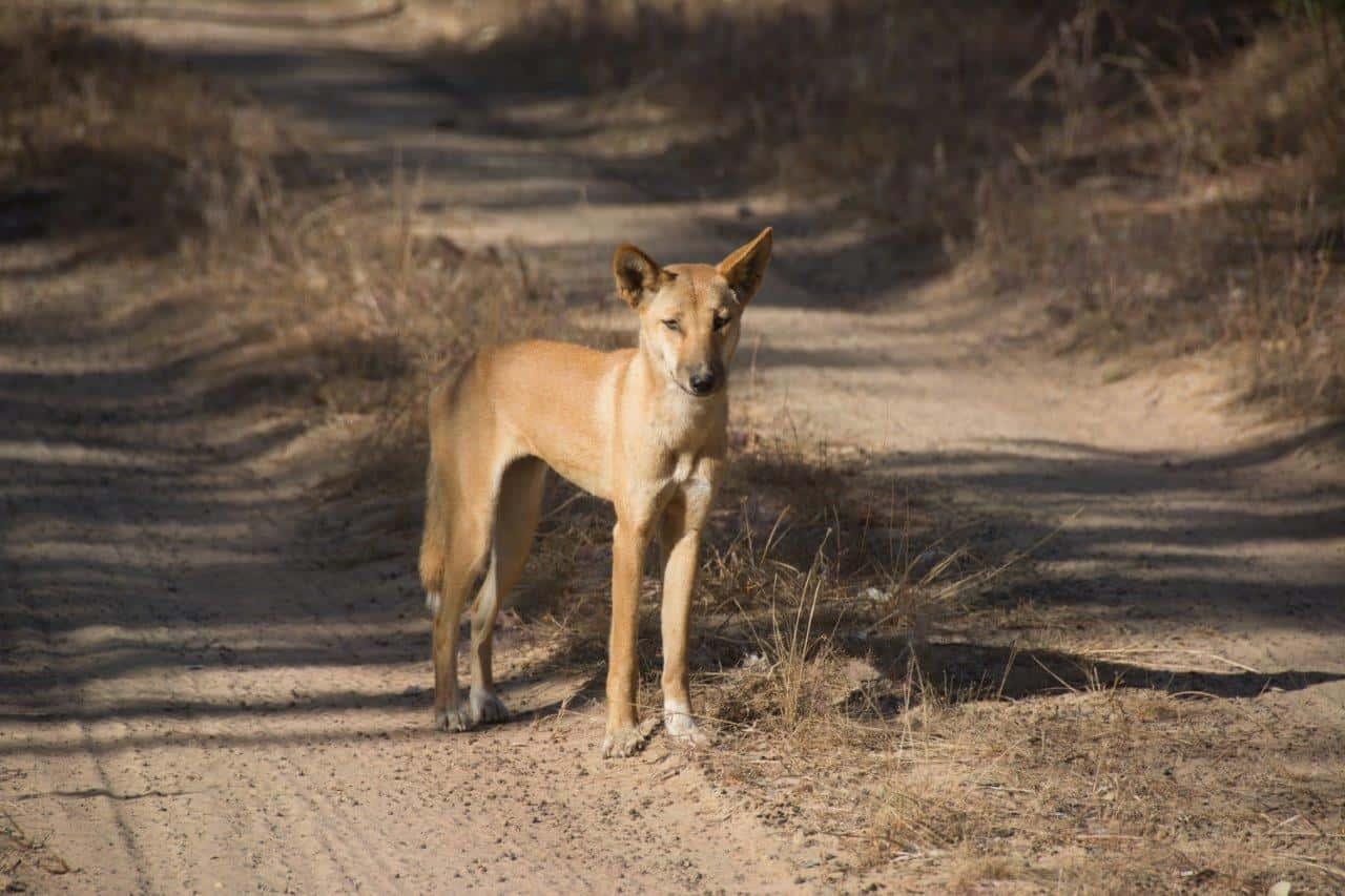 Dingo at Lorella