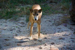 Dingo at Territory Wildlife Park