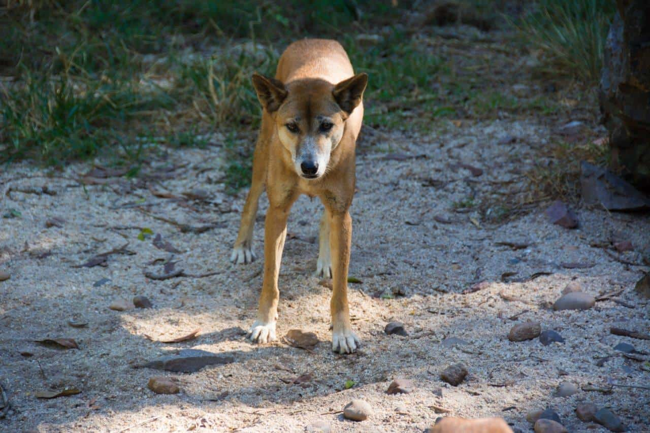 Dingo at Territory Wildlife Park