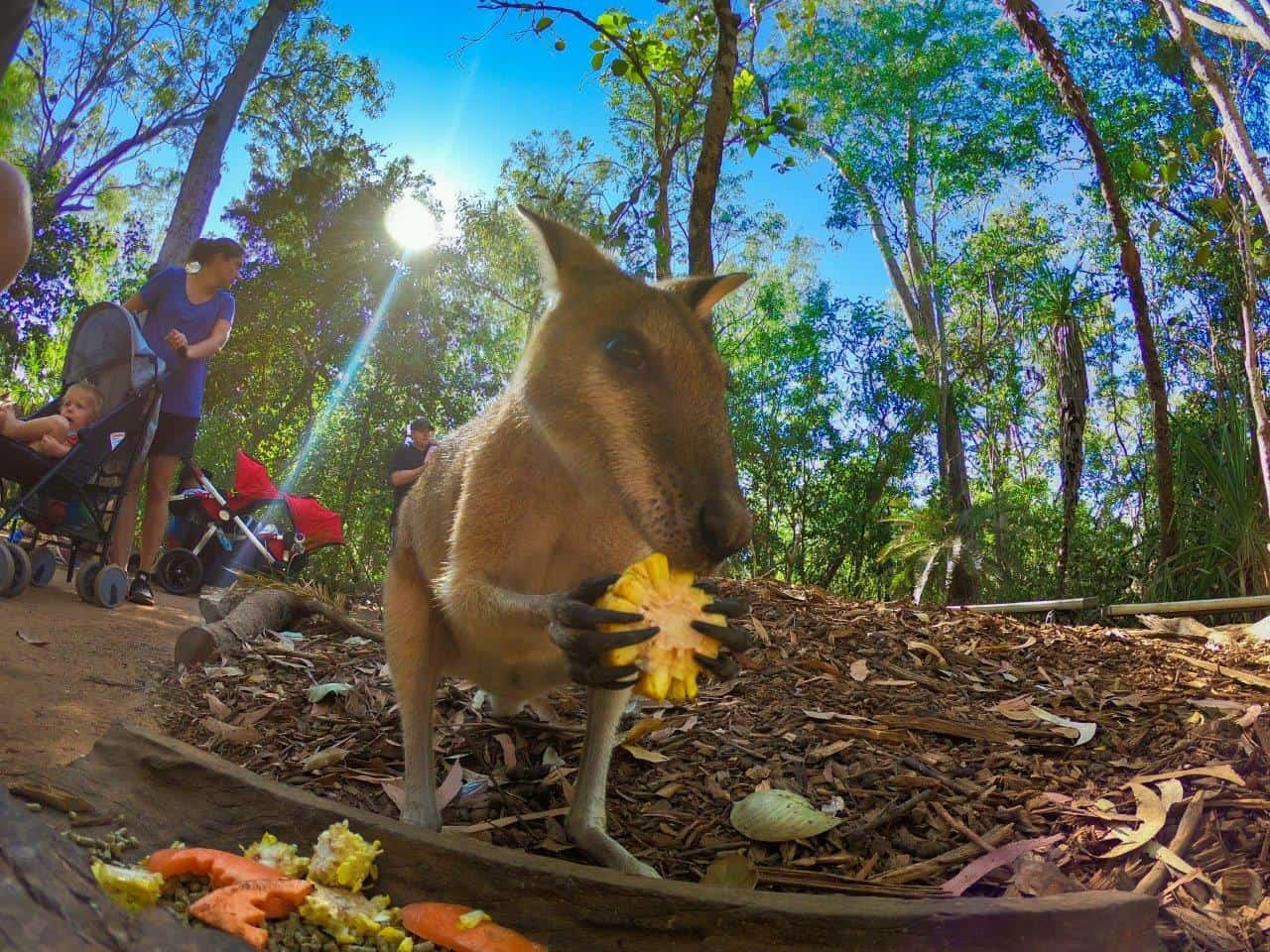 Wallaby feeding in Darwin