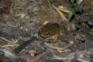 Cane toad destruction
