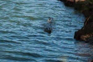 Salt water crocodiles are cunning