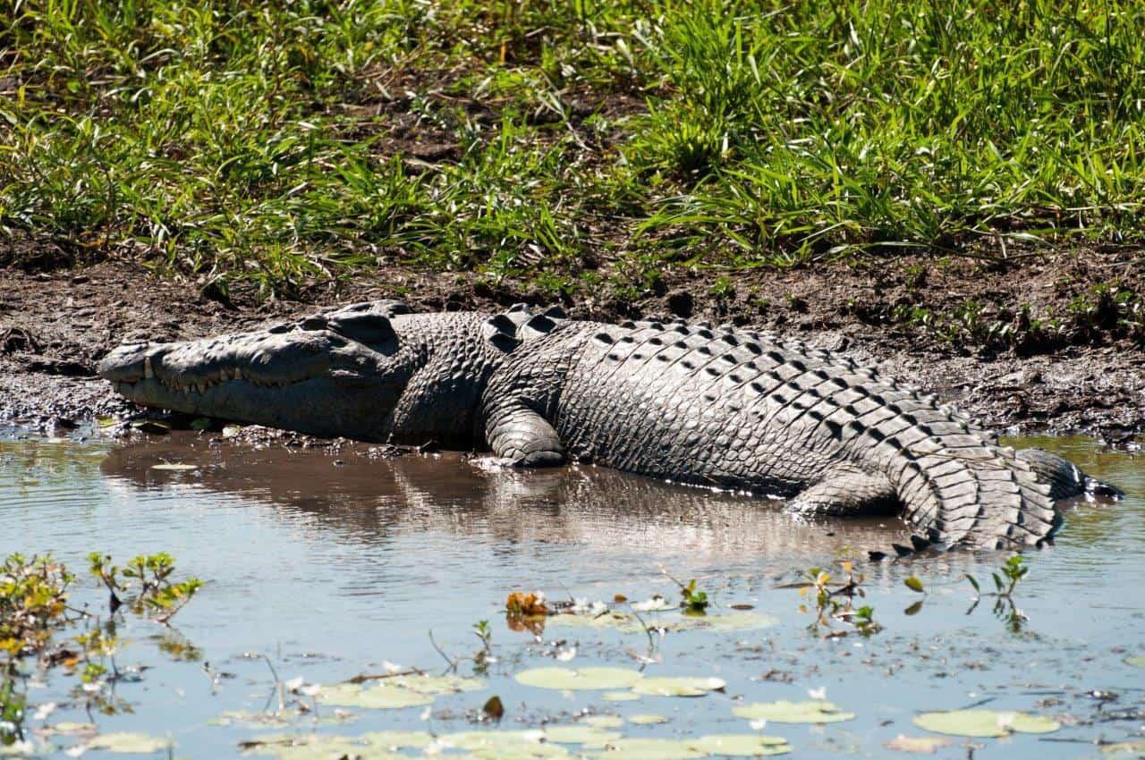 Big crocodile at Kakadu