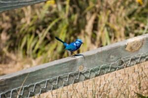 Blue Wren near Perth
