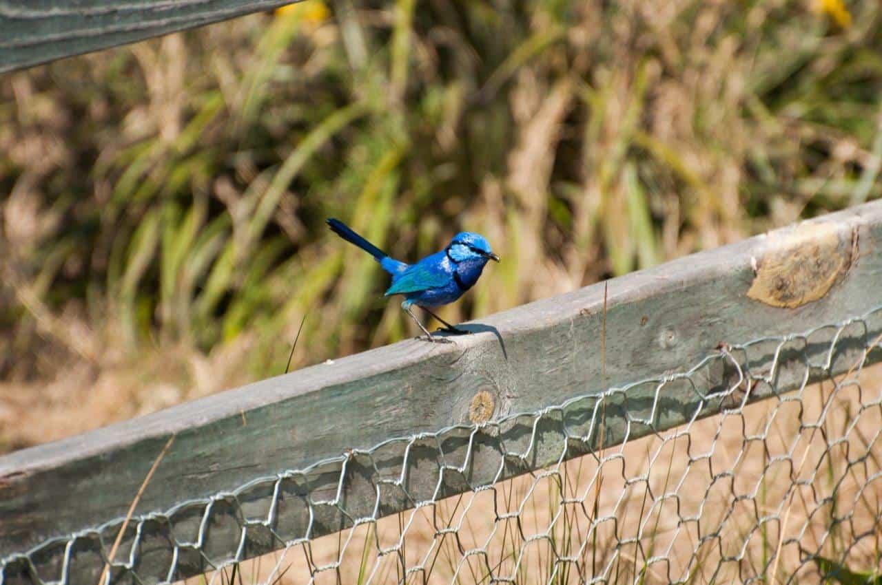 Blue Wren near Perth